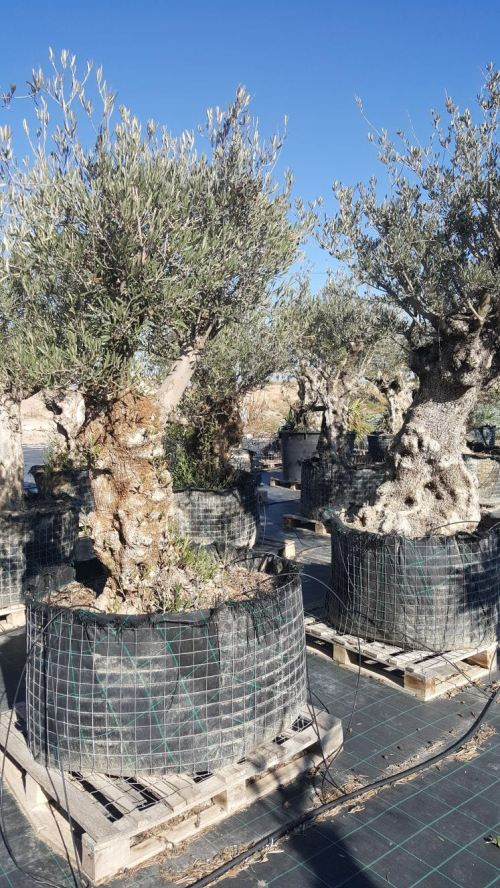 Olive trees ready for landscaping